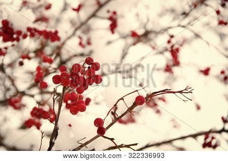 Rowanberry Twig In Snow. Bunch Of Rowan Berries With Ice Crystals. Rowanberry Branch. Berries Of Red
