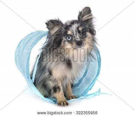 Young Pomeranian In Front Of White Background