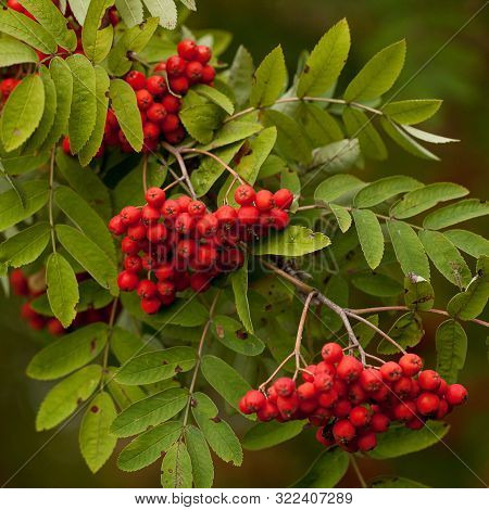 Beautiful Rowan Branch With Ripe Red Berries