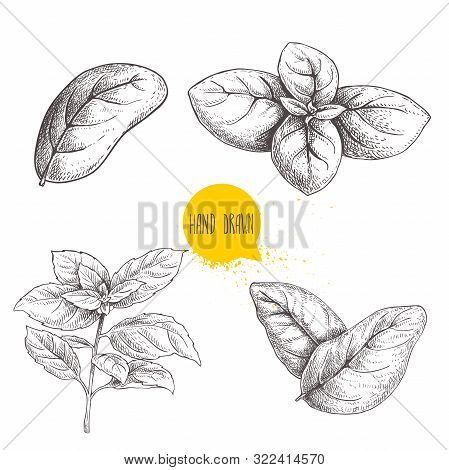 Hand Drawn Sketch Style Basil Leaves Set. Collection Of Culinary And Cooking Spicy Ingredients. Herb