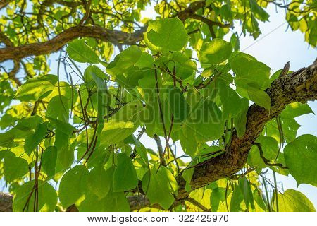 Nothern Catalpa Or Catalpa Speciosa Seeds Ripening On A Treee Branch.
