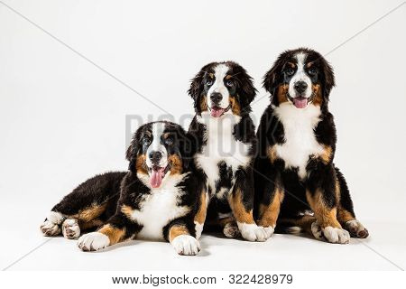 Berner Sennenhund Puppies Posing. Cute White-braun-black Doggy Or Pet Is Playing On White Background