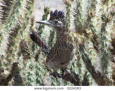 Roadrunner In Cholla Cactus