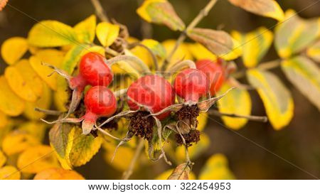 Bright Wild Rose In Autumn, Golden Leaves For A Beautiful Background