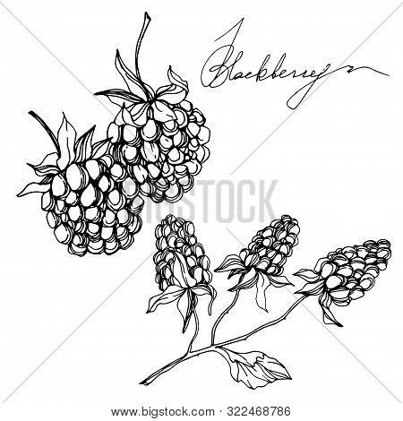 Vector Blackberry Healthy Food. Black And White Engraved Ink Art. Isolated Berry Illustration Elemen