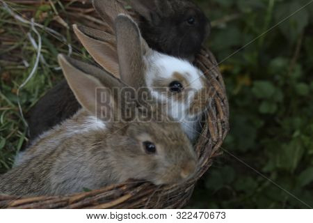 Three Little Rabbits Of Different Colors Sit Side By Side In A Wicker Basket.