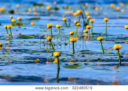 Summer Lake With Yellow Water Lily Flowers On Blue Water.