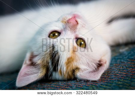 Little White Tricolor Kitten With Yellow Eyes Lying Down On Blue Background
