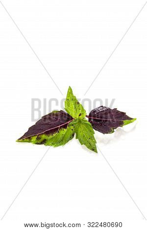 Leaves Of Colored Green And Purple Basil On A White Background. Effect Of Vitiligo