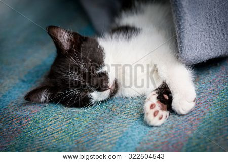 Little Black And White Kitten Sleeping On Blue Background