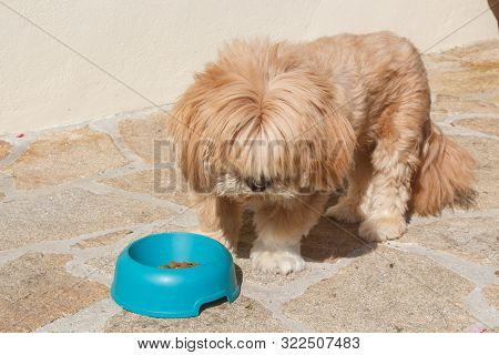 Lhasa Apso Dog Eating In A Blue Plastic Dog Bowl