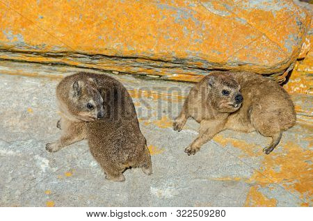 Two Cape Hyraxes (procavia Capensis) Or Dassies With Their Unusual Incisors, Having Incomplete Therm