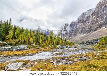 Golden Larches Along Opabin Trail At Lake O'hara In The Canadian Rockies