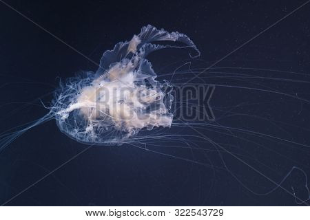 sea nettle jellyfish with long tails
