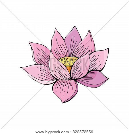Pink Lotus Flower On White Background In Vector. Hand Drawn Illustration. Nelumbo. Botanical Illustr