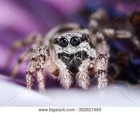 Cute Jumping Spider With Big Round Eyes In Garden On Purple Flower Petals Background