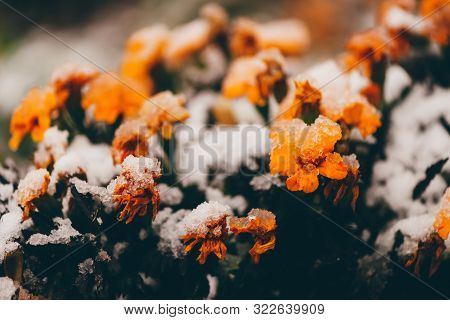 Beautiful Marigolds In Snow In Off-season. Blooming Small Orange Flowers In Frost Close-up. Amazing