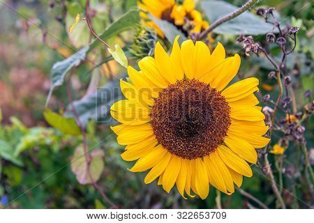 Closeup Of A Large Sunflower Between Other Wildflowers And Plants In A Dutch Nature Reserve. The Bir