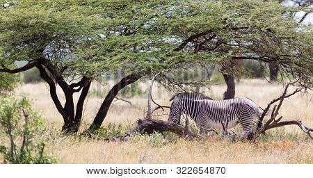 Grevy Zebra Standing Under The Tree In The Samburu National Park