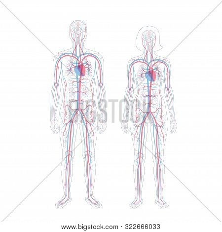 Vector Isolated Illustration Of Human Arterial And Venous Circulatory System Anatomy In Man And Woma