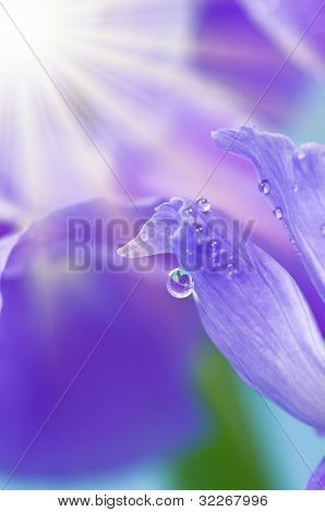 Sunshine on waterdrops on purple Iris petals