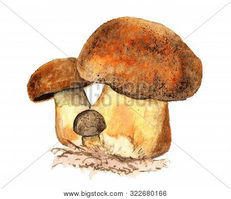 Watercolor Illustration Of Edible Mushrooms Isolated On White Backdrop. Organic Healthy Natural Food