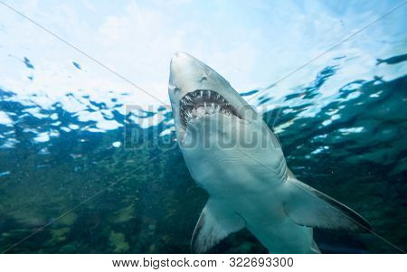 Underwater view of sand tiger shark, carcharias taurus, seen from below.