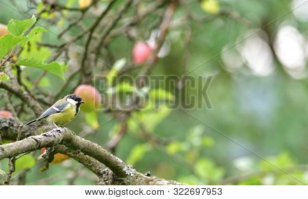 Great Tit Jumps In Leaf On A Tree Branch