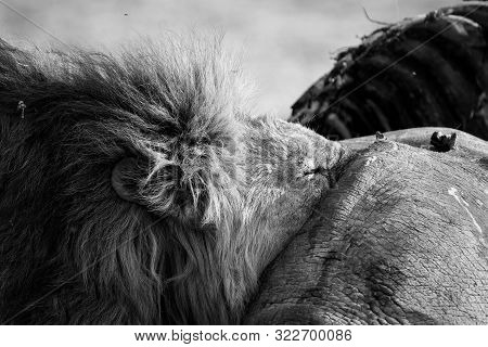 Lion Male With A Huge Mane Rest On A Carcass It Has Eaten In Artistic Conversion