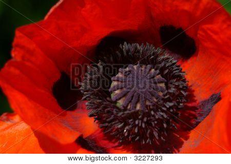 Orange and Black Flower Close Up