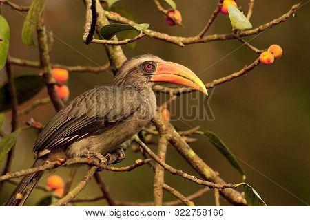 Malabar Grey Hornbill, Ocyceros Griseus, Male At Thettekad In Kerala, India.