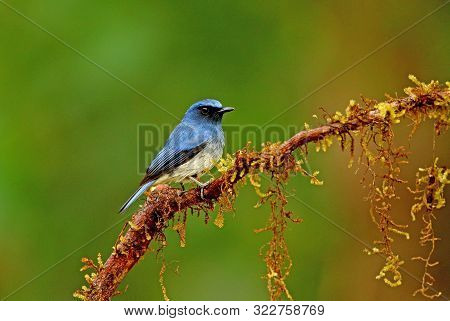 White Bellied Blue Flycatcher, Male, Cyornis Pallipes At Ganeshgudi In Karnataka, India.