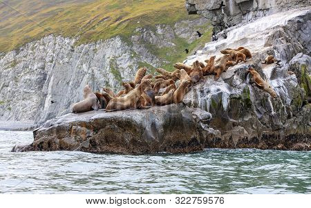 Steller Sea Lion Sitting On A Rock Island In The Pacific Ocean On Kamchatka Peninsula