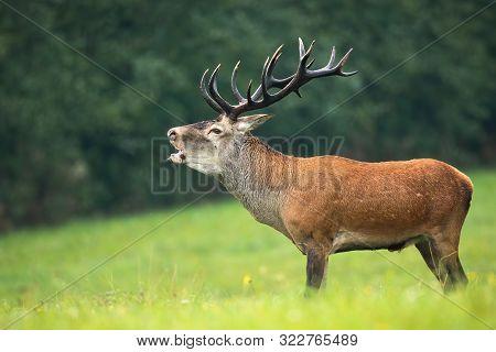 Male Red Deer Bellowing In Rutting Season In Autumn.