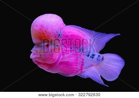 Cichlids, Large Protruding Head, Pink White And Black, Beautiful