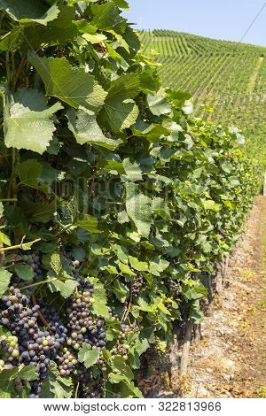 Vineyard With Growing Red Wine Grapes, Black Or Purple Grapevines