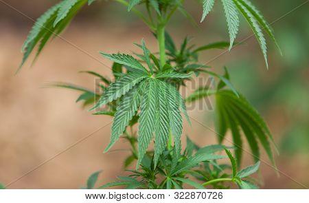Hashish, Cannabis Background, Leaf Of Marijuana Plant, Taberrant Morocco