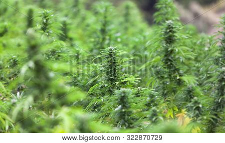 Field Of Green Marijuana, Cannabis Field, Hashish, Cannabis Background, Leaf Of Marijuana Plant.