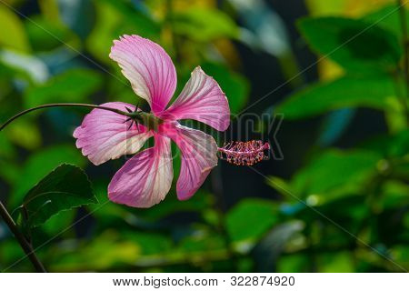 Bright Pink Flower Of Hibiscus Hibiscus Rosa Sinensis On Green Background. Karkade Native To Tropica