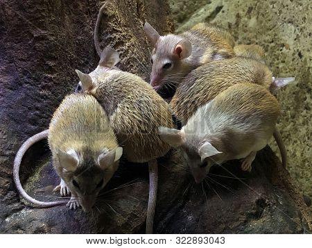 The Cairo Spiny Mouse (acomys Cahirinus), The Common Spiny Mouse, Egyptian Spiny Mouse, Arabian Spin