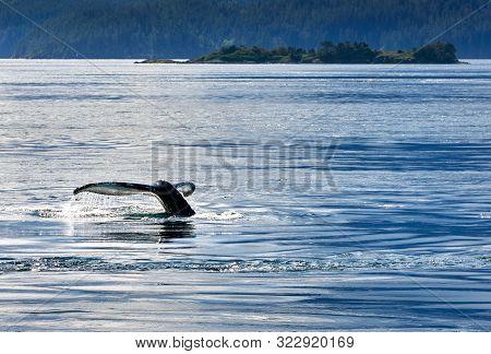 Humpback Whale Tail Fluke. A Humpback Whale Tail Fluke As It Dives.