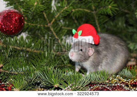 A Rat In A Christmas Cap, The Christmas Mouse. Christmas Gray Rat On The Background Of A Natural Chr