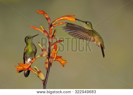 A Male Buff-tailed Coronets (boissonneaua Flavescens) Is Perched On A Heliconia Flower While The Fem