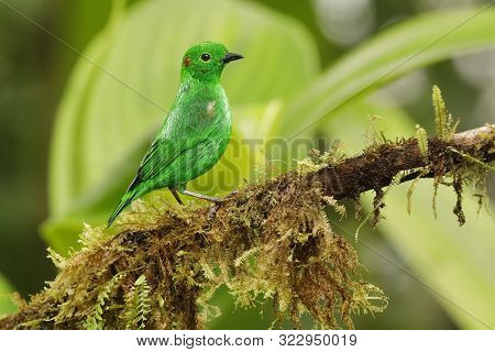 Glistening Green Tanager (chlorochrysa Phoenicotis) Perched On An Branch Covered In Epiphytes In A T
