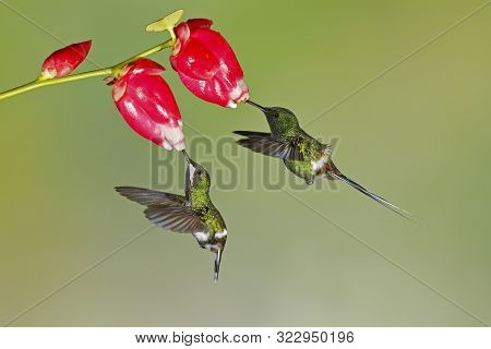 Pair Of Green Thorntails (discosura Conversii) Feeding On Flowers In The Tropical Forest Of Ecuador.