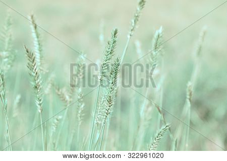 Natural Background In Pastel Colors. Grass Ears On The Field. Nature Outdoors Vintage Wallpapers