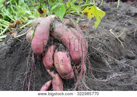 The Sweet Potato, Kumara, Yam (ipomoea Batatas) Harvest. Sweet Potato Ornamental