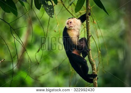 Black Monkey Sitting On Tree Branch In The Dark Tropic Forest. White-faced Capuchin, Little Monkey F