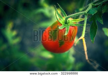 Hairy Peduncle And Sepals Or Calyx Holding A Tomato Fruit With Uneven Ripening. Gardening Tomato In