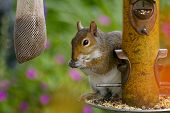 Sneaky squirrel stealing seed at the birdfeeder in a backyard setting. poster